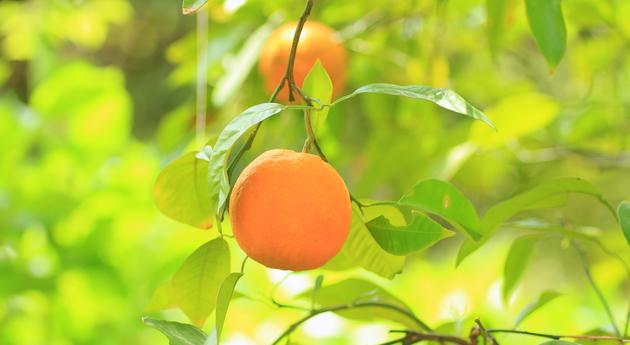 ダイダイ(ビターオレンジ)〈花、葉、皮で幅広い用途に対応〉