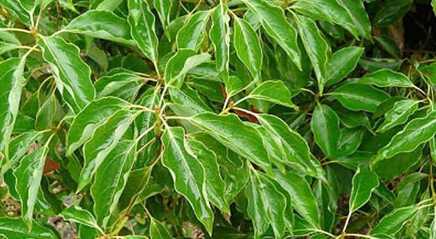 ラベンサラ〈マダガスカルを代表する薬用植物〉