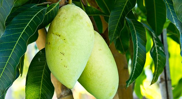 マンゴー 〈スキンケアもできる世界三大美果〉